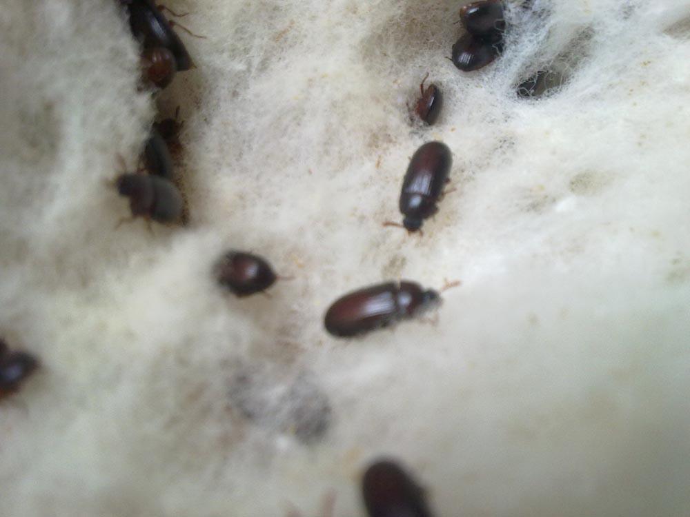 khasiat semut jepang obat khasiat semut jepang obat